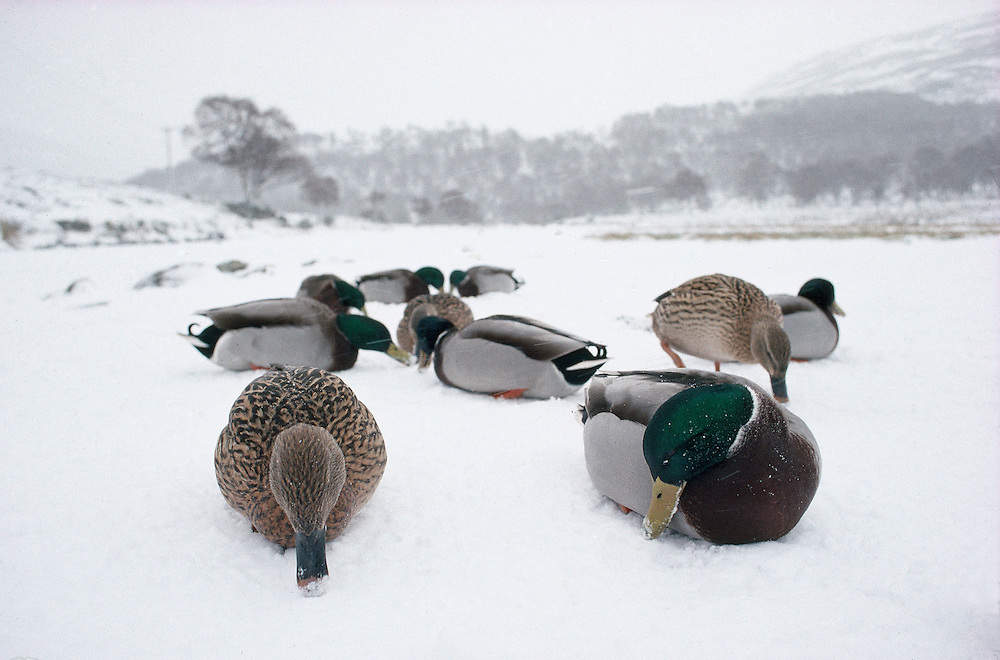 Mallards on snow-covered pond.....NIALL BENVIE PORTFOLIO MALLARDS ON SNOW-COVERED POND MALLARD ANAS PLATYRHYNCHOS EUROPE SCOTLAND WEST LOTHIAN WATER FOWL DUCK BIRD HORIZONTAL ENVIRONMENT COLD SEARCHING WHITE WILD MALE DRAKE FEMALE ADULT GROUP SEVERAL FEEDING TOWN LAKE WETLAND MARSH LOCH 1994 JANUARY WINTER HUNTING SHOOTING..