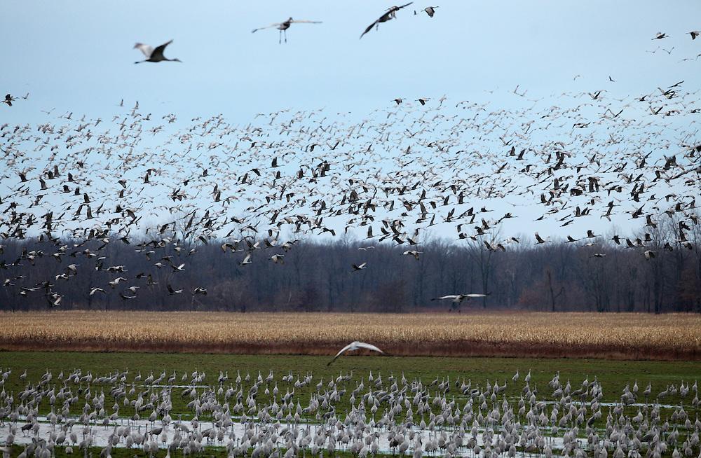 Sandhill Cranes at Jasper-Pulaski Fish and Wildlife Area in Indiana November, 26, 2009...