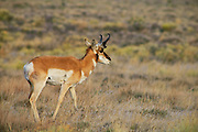 Pronghorn at Hart Mountain National Antelope Refuge in southeastern Oregon.
