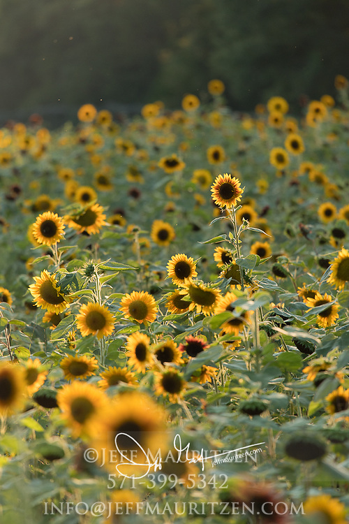 A field of sunflowers grow in a row in a field.