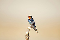 A Barn Swallow perched on a lone branch at Antelope Island State Park along the Great Salt Lake.