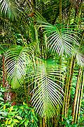 Areca palms in Hawaii jungle
