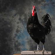 23/11/12 - MONTLUCON - ALLIER - FRANCE - Concours National Avicole de Montlucon . GR Coq La Fleche noir. Eleveur Vincent Garri - Photo Jerome CHABANNE