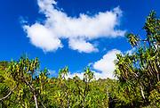Lush vegitation and hala trees (Pandanus tectorius), along the Kalalau Trail, Na Pali Coast, Island of Kauai, Hawaii USA
