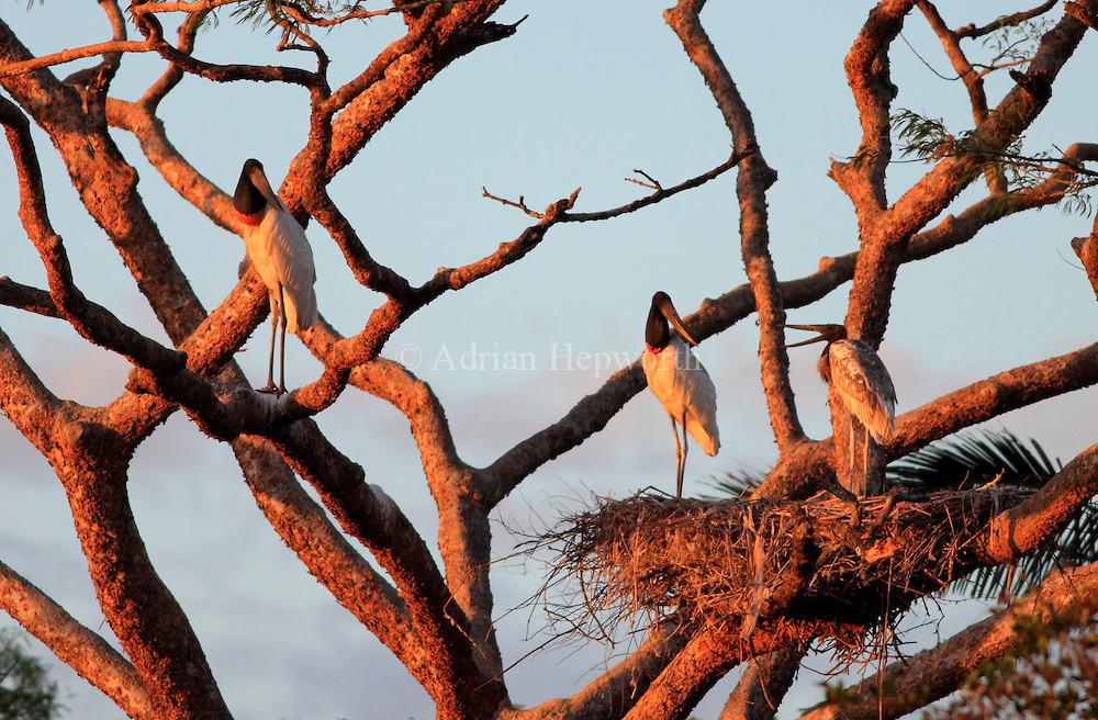 Jabiru adults and juvenile (Jabiru mycteria) at nest near River Tempisque, Guanacaste, Costa Rica. <br />