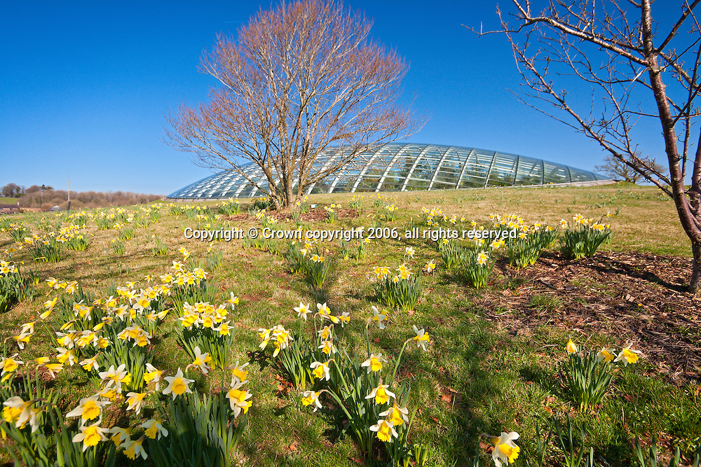 Exterior view of Great Glasshouse with daffodils in spring<br /> National Botanic Garden of Wales<br /> Carmarthenshire<br /> South<br /> Tourist Attractions
