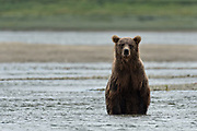 A Brown bear looks for salmon moving in the lower lagoon at the McNeil River State Game Sanctuary on the Kenai Peninsula, Alaska. The remote site is accessed only with a special permit and is the world's largest seasonal population of brown bears in their natural environment.