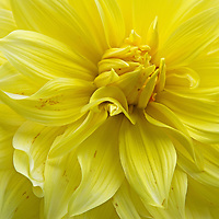 Floral fine art photography of a beautiful yellow flowering dahlia photographed at Thuya Garden in Northeast Harbor, Maine. The magical garden and its surrounding land is a wonderful mixture of flower beds and native eastern Maine woodlands situated on a granite hillside overlooking Northeast Harbor. There is limited parking at the entrance to the garden and at the bottom of the hill. There is  parking at the bottom of the hill and a climb up staircases rewards with stunning views of Northeast Harbor and surrounding areas.  <br />