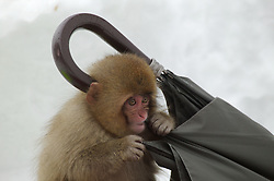 Japan, Jigokudani Monkey Park. A snow monkey gnaws on an umbrella in the snow. Credit as: © Josh Anon / Jaynes Gallery / DanitaDelimont.com
