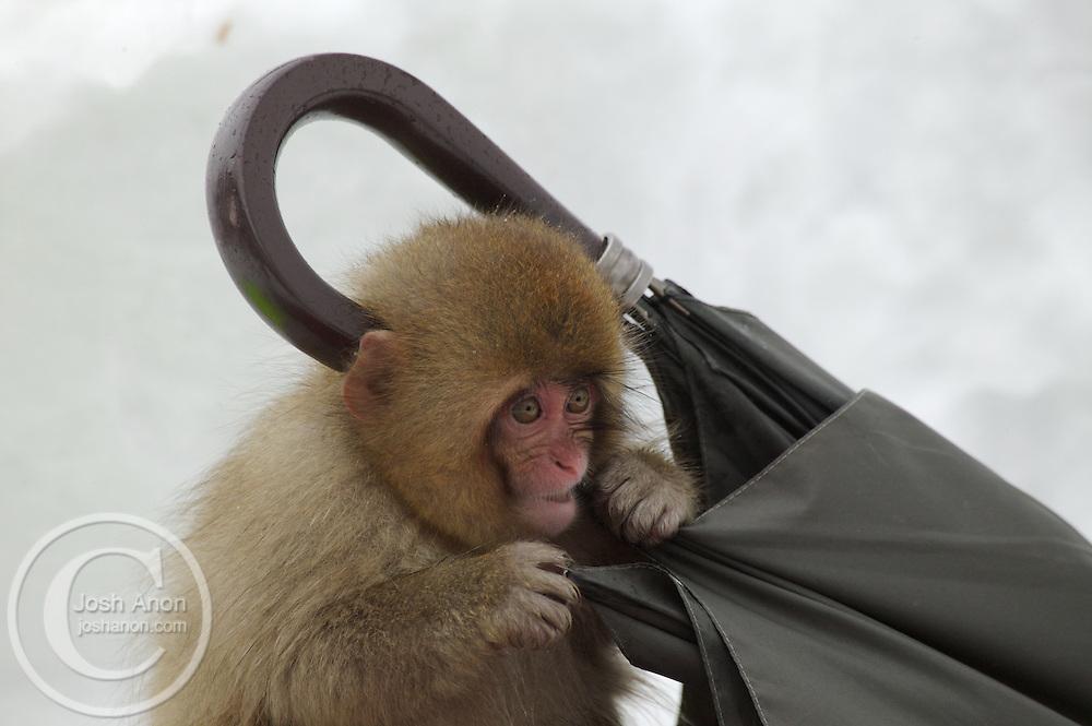 Japan, Jigokudani Monkey Park. A snow monkey gnaws on an umbrella in the snow. Credit as: © Josh Anon / Jaynes Gallery / DanitaDelimont.com