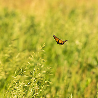 Monarch floating over the prairie