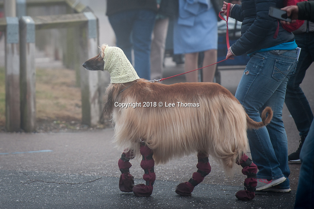 NEC, BIRMINGHAM, ENGLAND, UK. 9th MARCH 2018. Pictured:  An Afghan hound arrives at the NEC wearing a knitted head and neck garment.  / Hundreds of dogs and their proud owners arrive at the NEC on a cold and misty morning. First held in 1891, Crufts is said to be the largest show of its kind in the world, the annual four-day event, features thousands of dogs, with competitors travelling from countries across the globe to take part and vie for the coveted title of 'Best in Show'.  // Lee Thomas, Tel. 07784142973. Email: leepthomas@gmail.com  www.leept.co.uk (0000635435)/ Hundreds of dogs and their proud owners arrive at the NEC on a cold and misty morning. First held in 1891, Crufts is said to be the largest show of its kind in the world, the annual four-day event, features thousands of dogs, with competitors travelling from countries across the globe to take part and vie for the coveted title of 'Best in Show'.  // Lee Thomas, Tel. 07784142973. Email: leepthomas@gmail.com  www.leept.co.uk (0000635435)