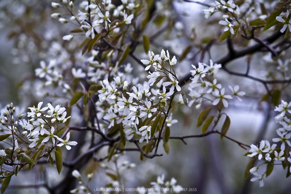 Ballerina serviceberry (Amelanchier.canadensis x grandiflora 'Ballerina')