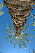 Palm Tree, California palm tree s, CA, Fan Palm, native, Arecaceae, Palmae, Palmaceae High dynamic range imaging (HDRI or HDR)