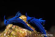 blue-striped sea slugs, Tambja mullineri, endemic to Galapagos Islands, Ecuador,  ( Eastern Pacific Ocean )