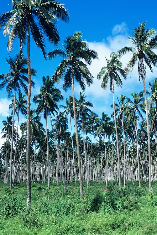 Fiji Islands, Vanua Levu copra plantation