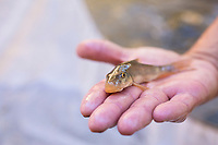 TNC employees netting native fish for research, Aravaipa Canyon Preserve, AZ.