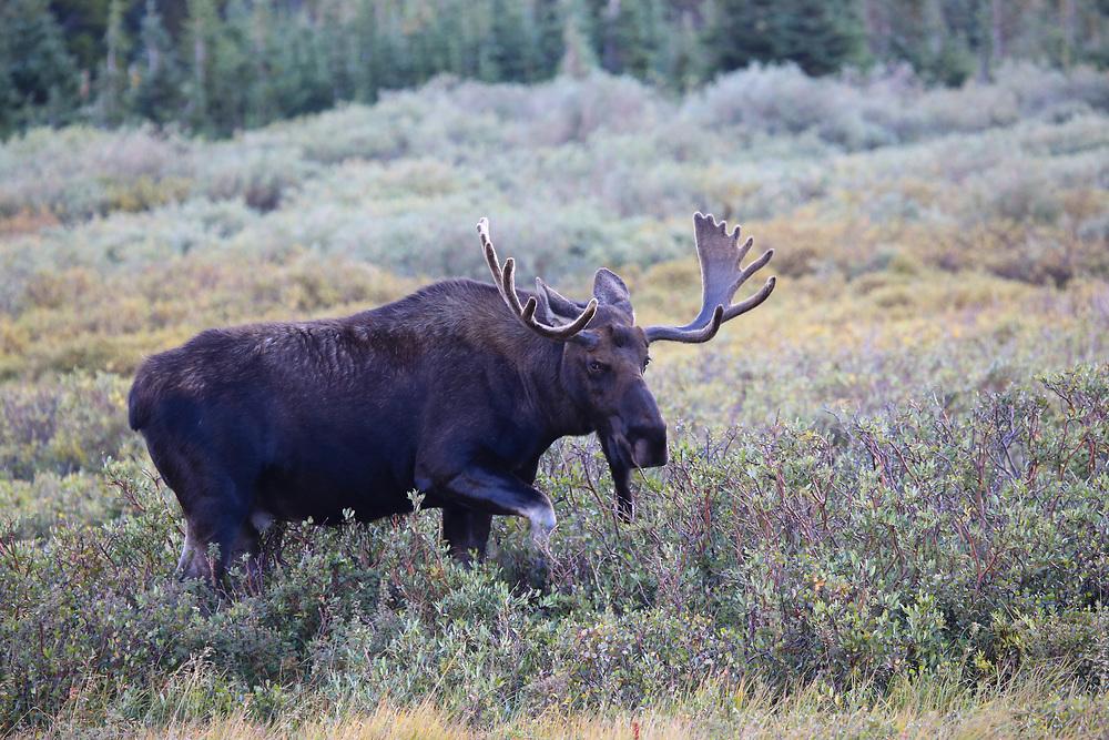 Bull Moose in the Indian Peaks Wilderness, Colorado