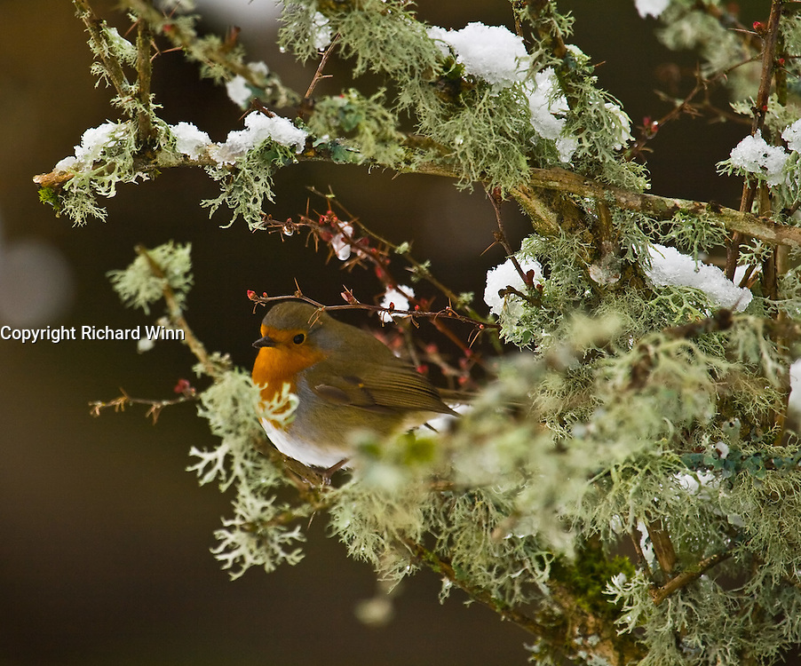 European Robin on a bush with snow, making the ideal Christmas card  scene.