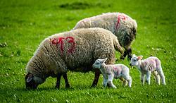 New born lambs with their mum on a farm in the Scottish borders<br /> <br /> (c) Andrew Wilson | Edinburgh Elite media
