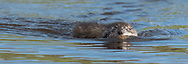 Muskrat swimming straight toward observer on surface of stream, Yellowstone National Park, © 2019 David A. Ponton