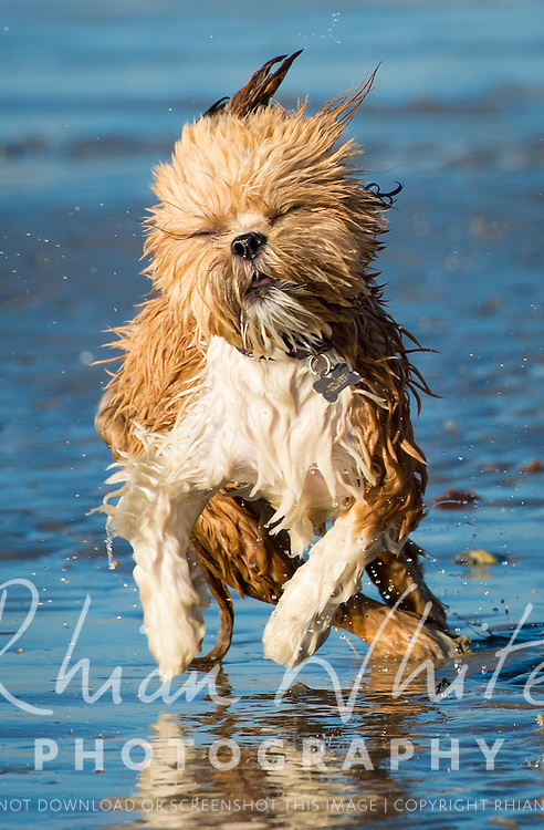 Images of Marmite and Pepper, the Lhasa Apsos, on Lancing beach