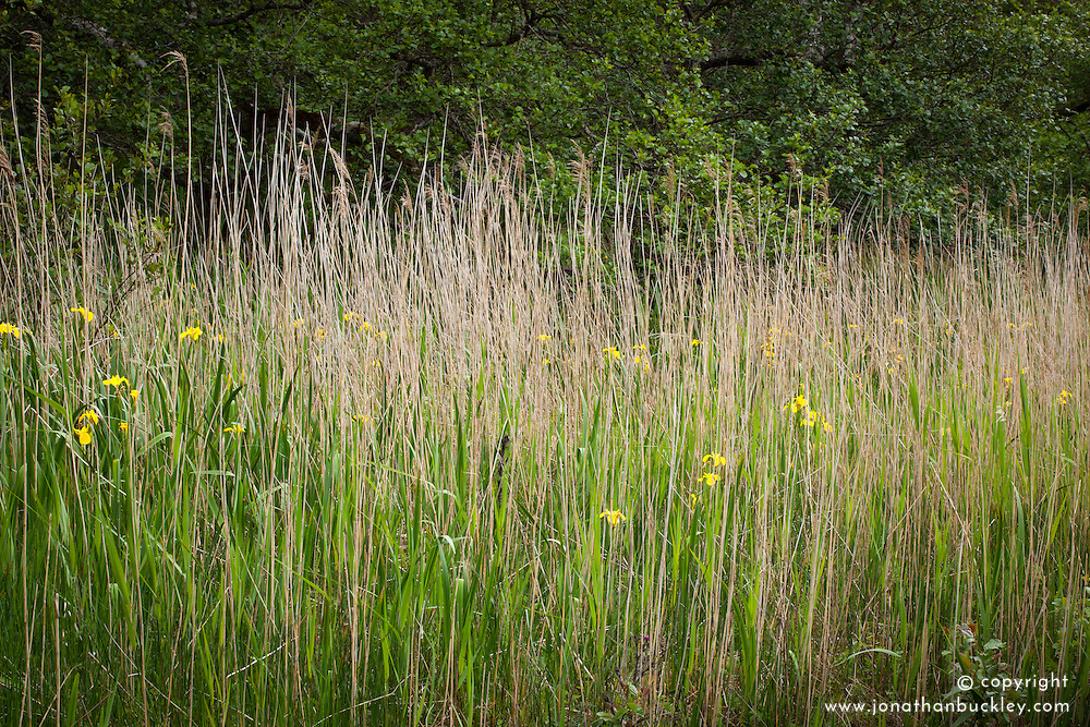Yellow Flag iris amongst Norfolk Reeds, Scotland. Iris pseudacorus