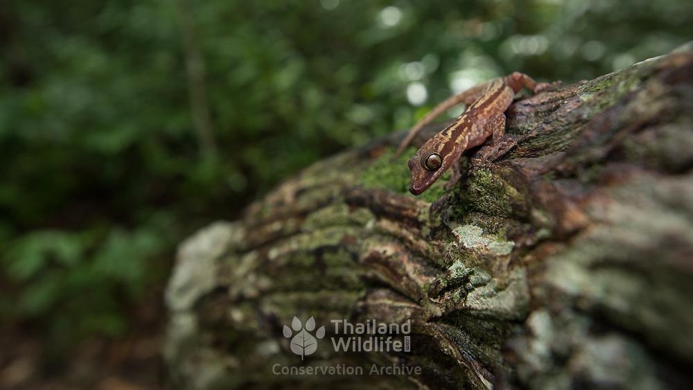 Four-striped bent-toed gecko (Cyrtodactylus quadrivirgatus) in Yan Ta Khao district, Trang, Thailand