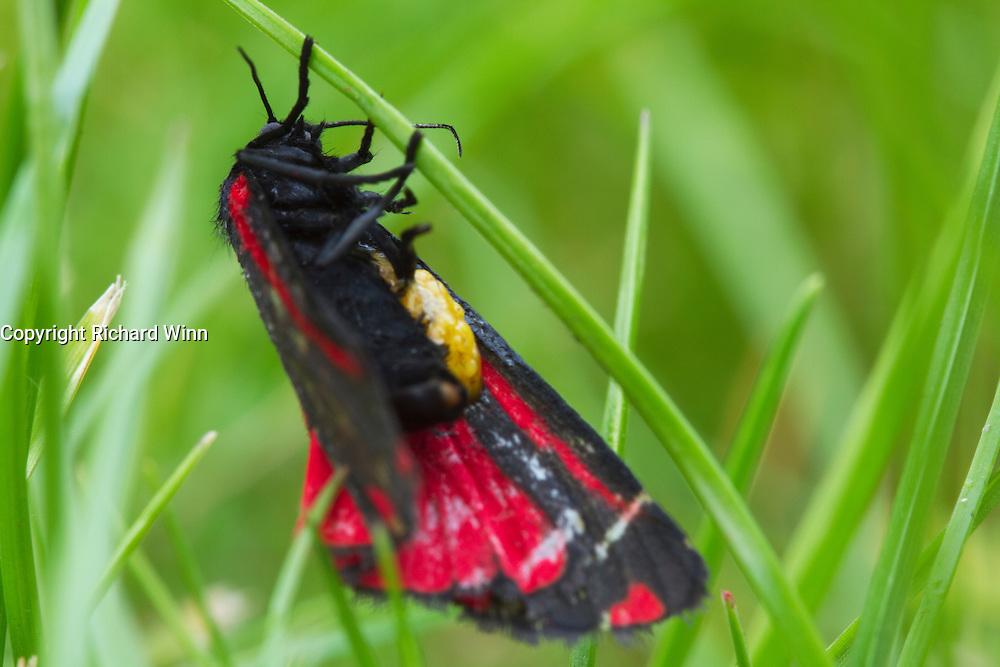 Cinnabar moth resting on a strand of grass after sunset.