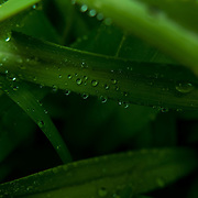 Water droplets on green leaves.