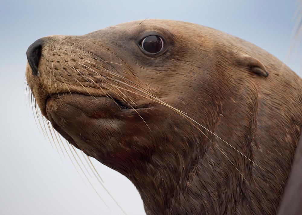 USA, Alaska, Angoon, Steller Sea Lion (Eumetopias jubatus) resting  along Chatham Strait on summer morning
