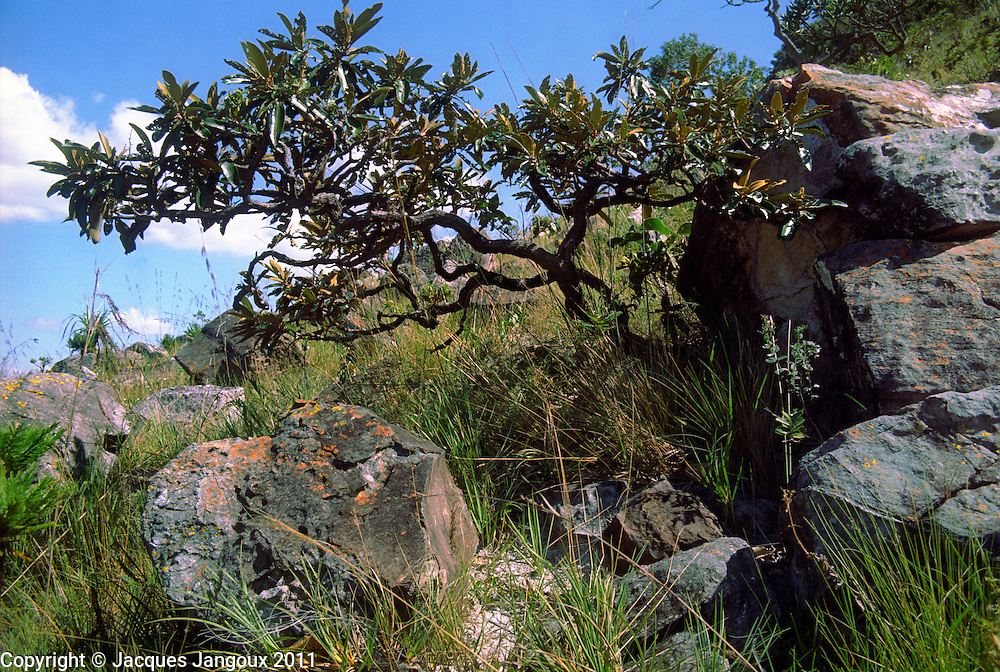 Cerrado (brazilian savanna) biome: contorted tree, shrub and grass in campos rupestres (saxicolous vegetation, vegetation on rocks) ecosystem on rock outcrop: Goias, Brazilian Highlands (Brazilian shield, Planalto brasileiro), Brazil