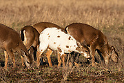 A piebald Columbian black-tailed deer (Odocoileus hemionus columbianus) grazes with normal-colored deer in a field in Pierce County, Washington. Piebaldism is caused by a genetic mutation that affects less than 2 percent of deer. It differs from albinism in that piebald animals have cells that can produce pigment, but those cells don't. Piebald deer have a relatively low survival rate because they also often suffer from other deformities, particularly leg and spine issues.