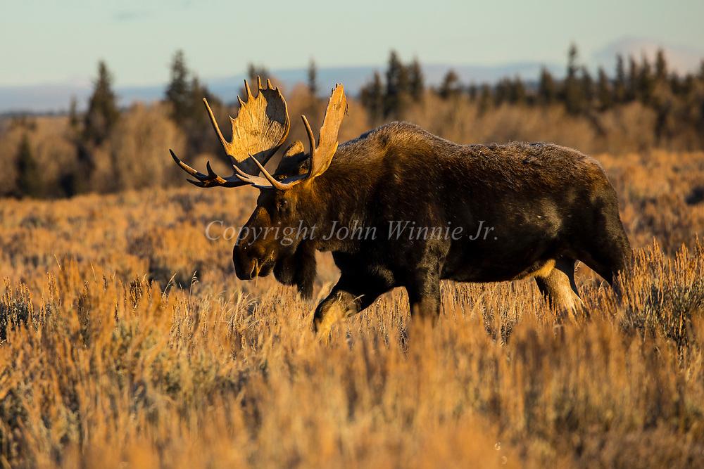 Moose, Grand Teton National Park, Wyoming.