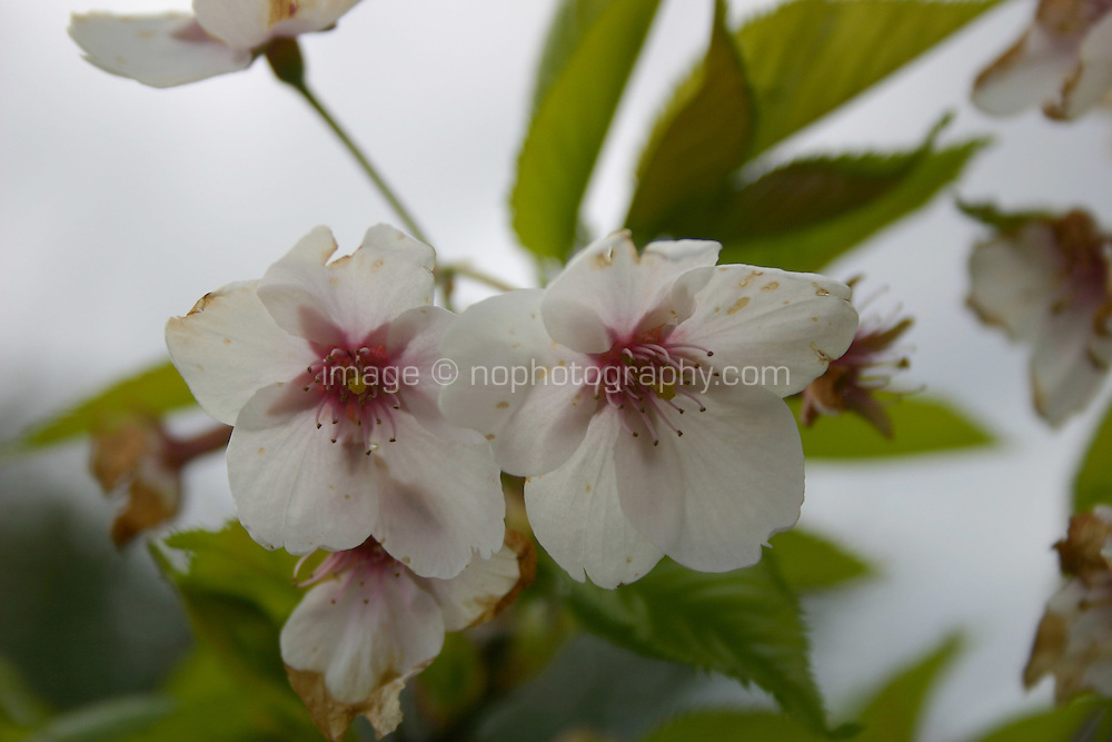 pink and white spring blossom