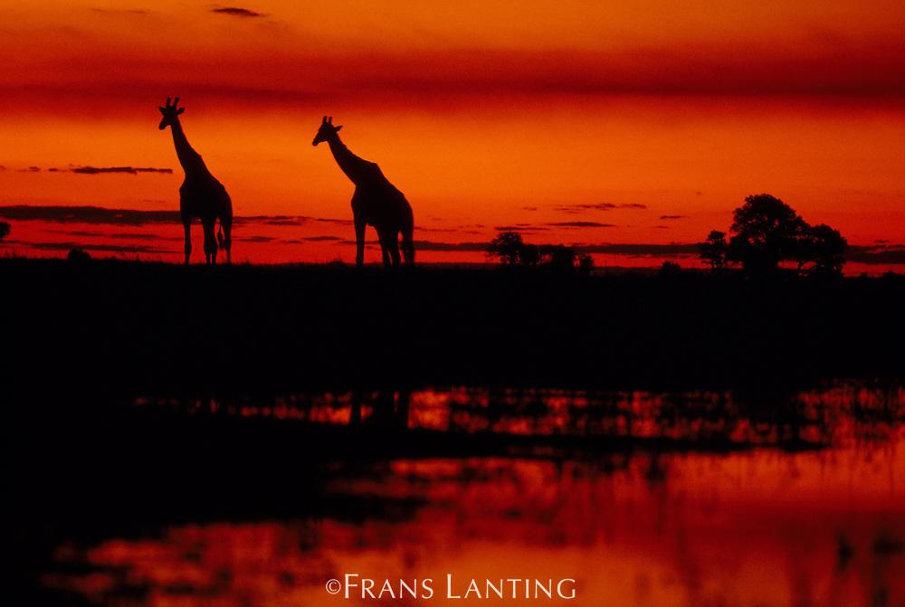 Giraffes at sunset, Giraffa camelopardalis, Botswana