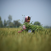 a girl working in a wheat field, punjab , india