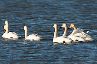 As most of the Tundra Swans have moved farther north to their summer grounds a few that might have come late are still in northern Utah but not for long!