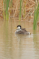 Western Grebes come inland to nest and raise their young.