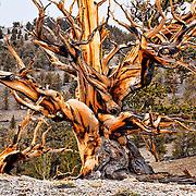 Ancient Bristlecone Pine Tree, White Mountains, California