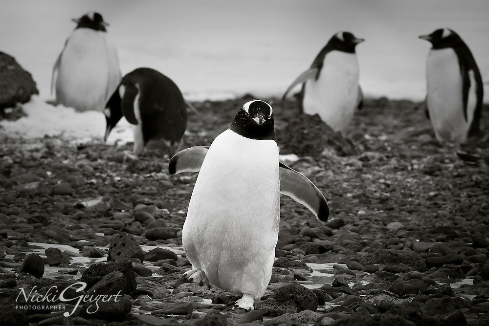 Animals, group of penguins.<br />