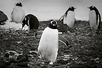 Group of penguins at nesting grounds. Wildlife and nature photography wall art. Fine art photography prints. Stock images. Nicki Geigert