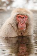 JAPAN, Jigokudani Yaen-koen, Nagano (Honshu).Snow monkey (Macaca fuscata)