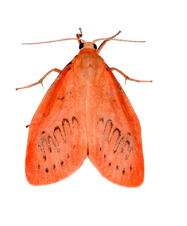 Rosy Footman Miltochrista miniata Length 14mm. A colourful little moth that rests with its wings spread flat. Adult has pinkish-orange forewings bearing black spots and an extremely wavy black line. Flies June-August. Larva feeds on lichens that grow on trees. Common only in southern England and Wales.