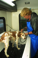 A 8.9 MG FILE OF:..Pacific Groves, CA    Lynda Milligan, owner of a mobile dog washing service gives Amber, a brittany Spaniel, a pedicure just before bath in her mible dog wash van.  photo by Dennis Brack
