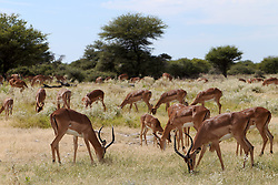 NAMIBIA ETOSHA 1MAY14 - Antelopes near Namutoni, Etosha National Park, Namibia.<br /> <br /> jre/Photo by Jiri Rezac<br /> <br /> © Jiri Rezac 2014