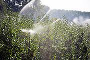 Nederland, Leuth, 13-9-2016        EIGENBoeren laten hun boomgaard beregenen door een loonbedrijf, loonwerkersbedrijf, vanwege de ongewoon felle zon en hoge temperatuur . Het fruit kan hierdoor verbranden Foto: Flip Franssen/