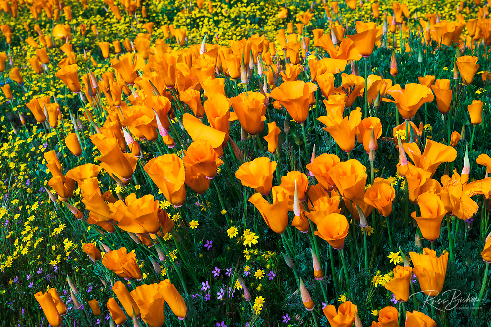 California Poppies (Eschscholzia californica) and Goldfield (Lasthenia californica), Antelope Valley, California USA