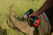 White Rhinoceros (Ceratotherium simum) darted for relocation. With Conservation Solutions Vet Andre Uys inserting micro chip into horn<br /> Private Game Reserve<br /> SOUTH AFRICA<br /> RANGE: Southern & East Africa<br /> ENDANGERED SPECIES
