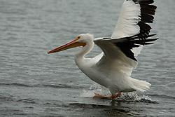 American white pelican (Pelecanus erythrorhynchos) Takes Off, Windsor, Vero Beach, Florida, US